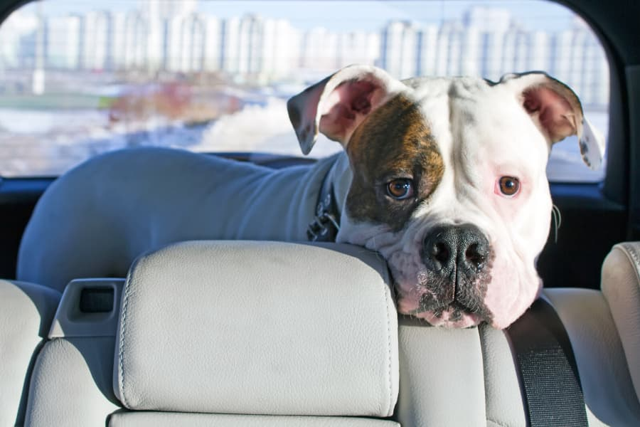 How to Help Your Dog Love the Car