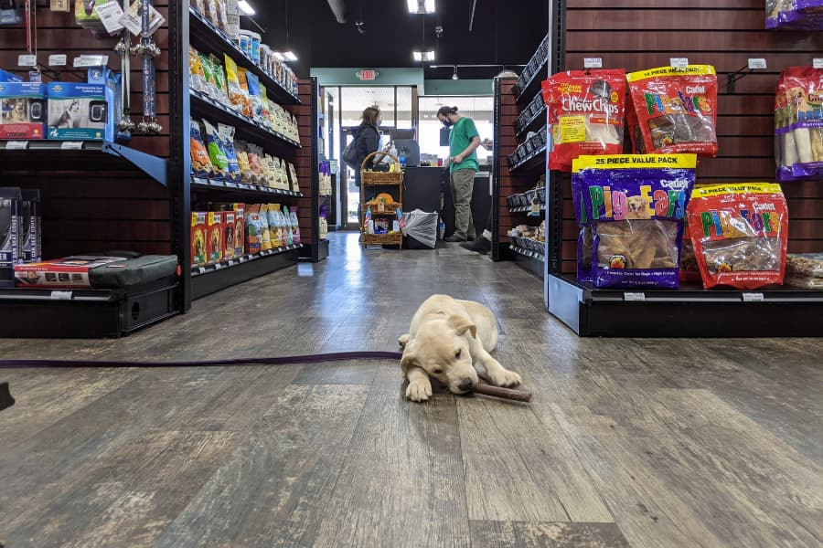 Yellow Lab puppy chews bone in aisle of pet store