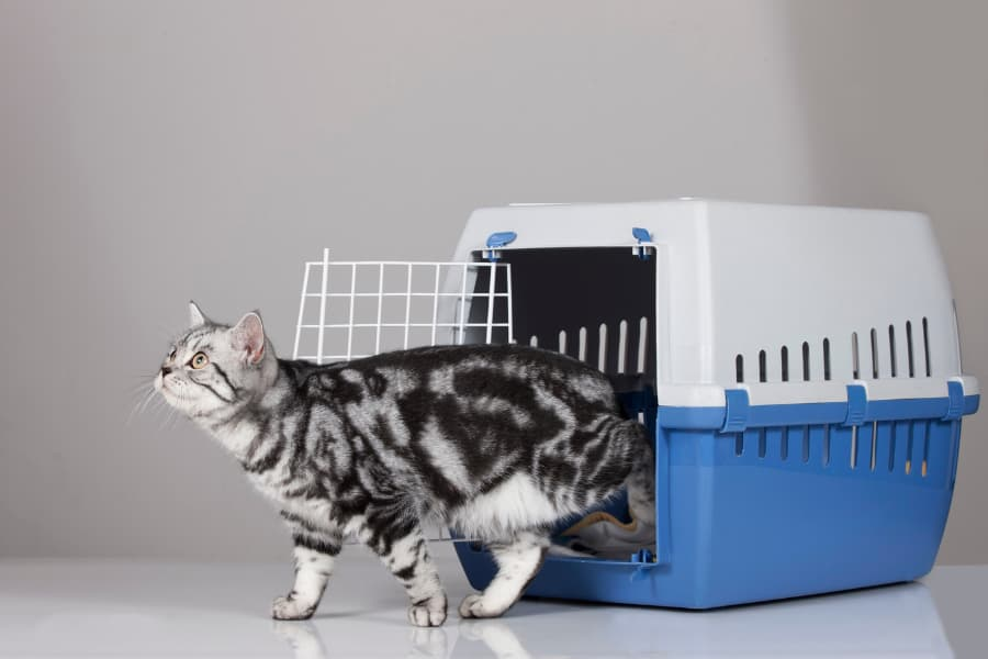 Grey and black cat leaving carrier